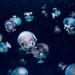 Cannonball Jellyfish (Stomolophus meleagris) of Enoshima Aquarium, Fujisawa : キャノンボールジェリー(新江ノ島水族館)
