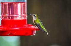 My first time catching a hummingbird (denise51168) Tags: hummingbird bird nature wisconsin nikond5300 animal photo