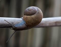 Cuban Brown Snail ( Zachrysia provisoria) (ACEZandEIGHTZ) Tags: closeup snail gastropod nikon d3200 nature shell zachrysia provisoria saariysqualitypictures coth coth5 sunrays5 ngc npc
