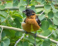 Black-Headed Grossbeak (grimeshome) Tags: grossbeak blackheadedgrossbeak nature bird birds trees aspen aspens forest grandtetonnationalpark moosewilsonroad tetons