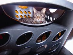 DSC01263 (MykeOwns) Tags: tabbycat tabby cat cats