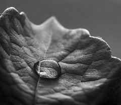Crossing the line (Ook Pik) Tags: panasonicgh4 lumixg 30mmmacro f28 micro43 30mmf28 droplets blackandwhite bw noiretblanc texture feuille leaf gouttes macromondays hmm linesymmetry 7dwf lowkey light water art nature closeup details blackwhite vine vineleaves