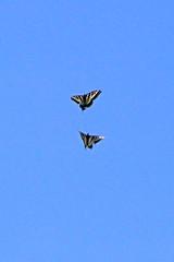 IMG_4780 (edward_rooks) Tags: sierraazulopenspacepreserve bald mountain mount umunhum insects wildflowers butterflies bees wasps assassin bug