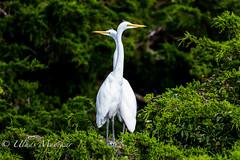 Great Egrets (mayekarulhas) Tags: oceancity newjersey unitedstates us canon canon500mm canon1dxmark2 wildlife wild bird avian