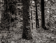 Poison ivy on strong oak (imageryRED) Tags: forest trees nature black white large format 4x5 heliar speed graphic