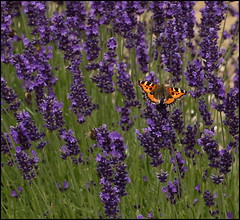 Red Admiral on lavender (catb -) Tags: butterfly dublin ireland lavender redadmiral vanessaatalanta