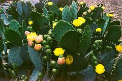 Cactus Close-Up  on Film (Neal3K) Tags: ga georgia hampton kodakektar100 nikons335mmfilmcamera cactus pricklypear cactusflowers