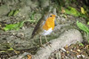 Robin (Have Cam Will Travel.) Tags: birds britishbirds robin nature wildlife