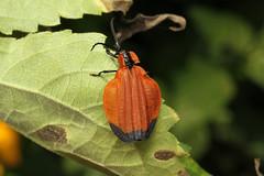 Coleoptera, Lycidae sp. (Net-winged Beetle) - Entebbe, Uganda (Nick Dean1) Tags: coleoptera lycidae netwingedbeetle beetle animalia arthropoda arthropod hexapoda hexapod insect insecta entebbe uganda africa