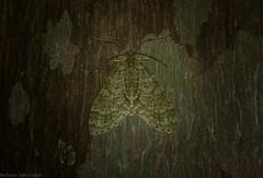 Sauris malaca (dustaway) Tags: arthropoda australia australianwildlife insecta lepidoptera australianinsects australianmoths geometridae larentiinae saurismalaca victoriaparknaturereserve dalwood alstonvilleplateau northernrivers nsw nature