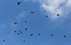 Flugstudie (wpt1967) Tags: berlin eos6d flugstudie tauben blauerhimmel bluesky canon100mm fliegen flightstudy pigeon wpt1967