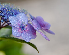 Hydrangea (shinichiro*) Tags: 20180618sdim3794 2018 crazyshin sigmasdquattroh sdqh sigma1770mmf284dcmacrohsm june summer flower macro ajisai kawasaki kanagawa japan jp 紫陽花 42955389761 3137160 201807gettyuploadesp