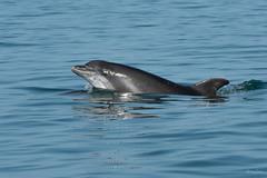 Bottlenose dolphin (Shane Jones) Tags: bottlenosedolphin dolphin cetacean mammal sea wildlife nature nikon d500 200400vr newquay ceredigion