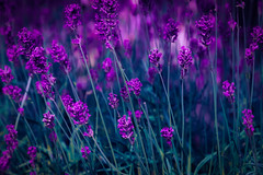 Purple ... (Julie Greg) Tags: purple flower flowers fujifilmxt20 nature levander park england kent colours