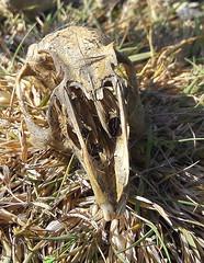 Photo of Squirrel Skull.