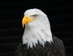 Weißkopfseeadler (julia_HalleFotoFan) Tags: weiskopfseeadler seeadler haliaeetusleucocephalus hellenthal eifel greifvogelstation greifvogel
