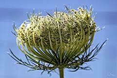 Meeting Again (Vanessa wuz Here) Tags: 7dwf 100mm macro macroflowers blueskies seeds torontozoo ontario copyrightvanessabartosek