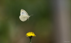 Small White - Klein Koolwitje - Pieris rapae -9273 (Theo Locher) Tags: smallwhite kleinkoolwitje pierisrapae butterflies vlinders copyrighttheolocher duitsland germany