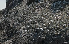 IMG_0454- Le Sept-îles: paradiso degli uccelli (Betti52) Tags: bretagna uccelli post10081918
