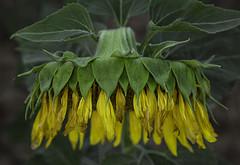 the blunt (eDDie_TK) Tags: colorado co weldcountyco weldcounty berthoudco larimercountyco sunflowers flowers