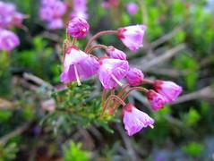 Mountain heather (chaerea) Tags: alpine bc canada heather hiking mountainheather mtseymour nature