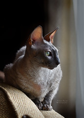 Window Watching (tairuba) Tags: cat cornishrex sidelight