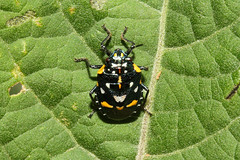 Hemiptera, Pentatomidae, Antestia sp. (Shield Bug) - Entebbe, Uganda. (Nick Dean1) Tags: hemiptera pentatomidae antestia shieldbug stinkbug animalia arthropoda arthropod hexapoda insect insecta entebbe uganda