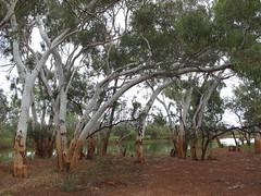 Beside a billabong, Bilyuin Pool (spelio) Tags: australia remote wa western june 2011 pilbara travel