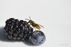 Die süssesten Früchte sind immer zuoberst * The sweetest fruits are always upstairs * Las frutas más dulces siempre están arriba *  . _DSC8156-001 (maya.walti HK) Tags: 150826082017 150818 2017 23082017 9tag animales animals beeren berry copyrightbymayahk flickr insectos insects insekten makro nikond3200 reisevenedig2017 schweiz suiza switzerland tiere venedigundzürich venedigreise2017 vespinae wespen wespenvespinae zúrich zürich zurich