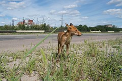 Radioactive and foxy (picturenarrative) Tags: chernobyl ukraine ecology nuclear ruins fox