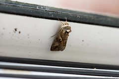 Silver Y Moth (gads6hill) Tags: garden lepidoptera silverymoth moths animals insects nature