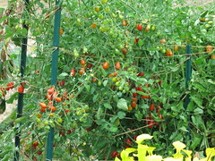 5 star grape tomato (meizzwang) Tags: 5 star grape tomato johnnys seeds outdoors northern california cultivation