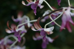 DSC08272- Violetta (oliveplum) Tags: orchidextravaganza gardensbythebay flowerdome leica60f28macro sony singapore bokeh marinabay
