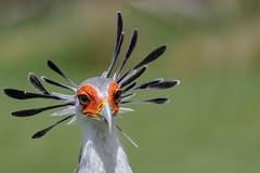 problems with the hairdryer (jeff.white18) Tags: secretarybird birdofprey bird portrait nikon feathers nature beak eyes