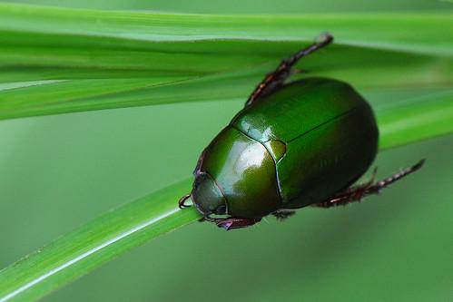 Lembah Harau - Green Christmas Beetle