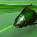 Lembah Harau - Green Christmas Beetle