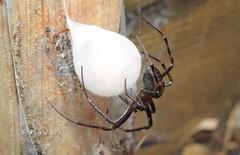 European cave spider (Meta menardi) (Nick Dobbs) Tags: european cave spider meta menardi arachnid orbweaving orb orbweaver