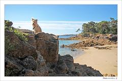 (BegMeil44) Tags: gripik botconan begmeil fouesnant bretagne britanny breizh bzh labrit pyrenäenhütehund strand rocks rochers atlantik
