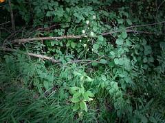 """Iller -der Fluss > Pflanzen am Ufer / Iller the River > Plants on the Shore / Iller -la Rivière > Plantes sur la Rivière (warata) Tags: 2018 deutschland germany süddeutschland southerngermany schwaben swabia oberschwabenupperswabia schwäbischesoberland badenwürttemberg badenwuerttemberg landschaft landscape illertal """"unteres illertal"""" sonnenaufgang """"sony dschx400v"""" """"iller der fluss"""" iller illerkanal pflanzen wildpflanzen ufer fluss river türkenbund """"lilium martagon"""""""