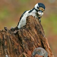 Grote bonte specht-Dendrocopos major (wimberlijn) Tags: grotebontespecht dendrocoposmajor specht bosvogel tuinvogel vogel natuur nationaleparkdehogeveluwe greatspottedwoodpecker woodpecker gardenbird bird nature wildlife animal outdoor