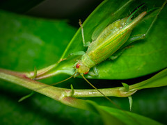 Cricket Cyrtoxipha columbiana  Columbian Trig (rickmcnelly) Tags: p100300mm insect macro gx8 raynox dcr150 cricket