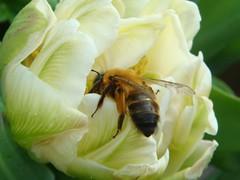 Andrena nigroaenea female (louise in northumberland) Tags: mygarden garden identified bee solitarybee solitary andrena wylam northumberland