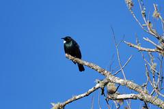 Tui (DanD_NZ) Tags: birds newzealand nikond500 nikkor200500mmf56 waitetuna tui