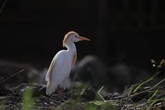 (fabhuleux) Tags: white oiseau bird 6d canon france antilles martinique street nature