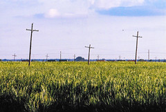 Sugarcane Crosses