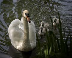 Beautiful Family (MrBlueSky*) Tags: swan cygnet bird animal nature outdoor water colour kewgardens royalbotanicgardens london pentax pentaxart pentaxlife pentaxawards pentaxflickraward pentaxk1mkii aficionados