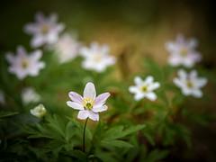 Wood anemones (Dan Österberg) Tags: flowers woodanemone anemone white green carpet vegetation macro flora