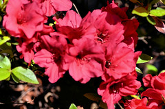 2018-05-08 (2) azaleas (JLeeFleenor) Tags: photos photography md maryland bowie bowiemd outside outdoors flowers flora azaleas red