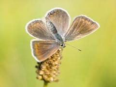 P8160375 (turbok) Tags: bläuling insekten schmetterlinge tiere