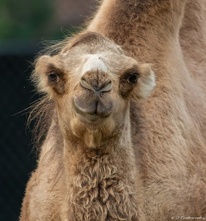 Smile of the Camel